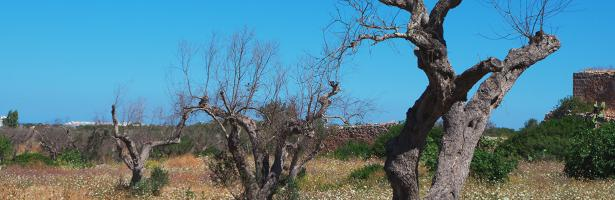 xylella tree2 170321